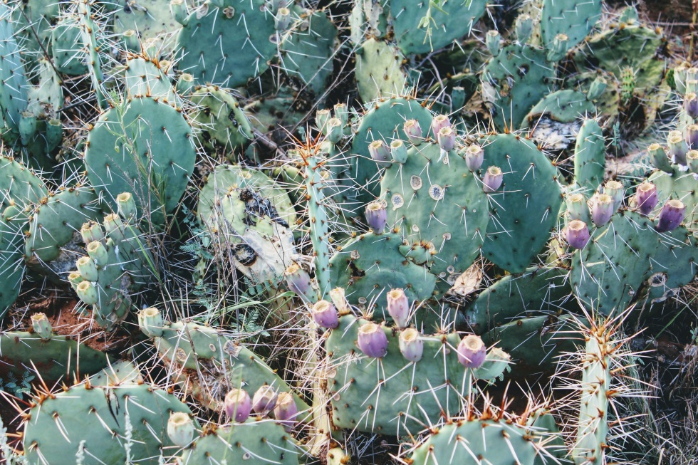 Cactus Prickly Pear Palo Duro Canyon